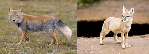 tibetan fox corsac