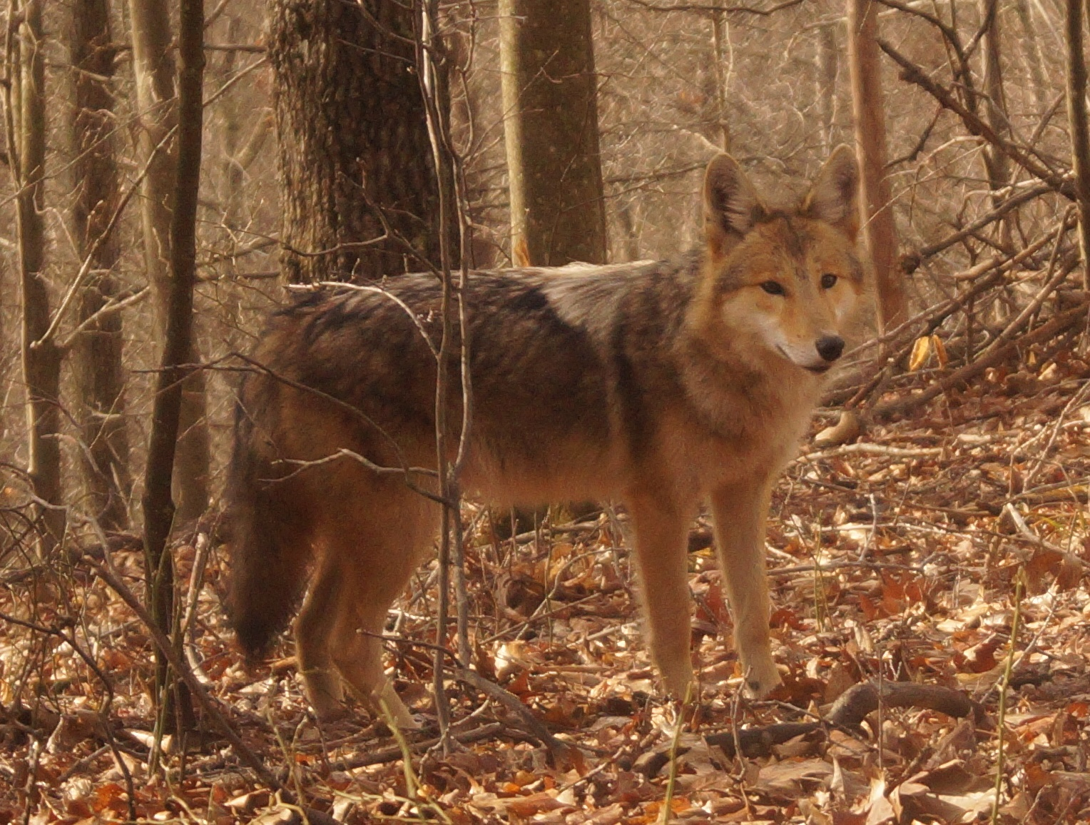 west virginia coyote