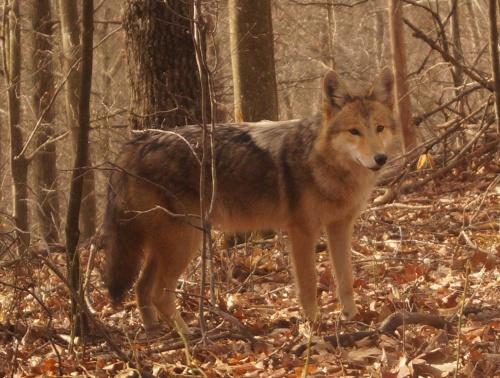 west virginia coyote
