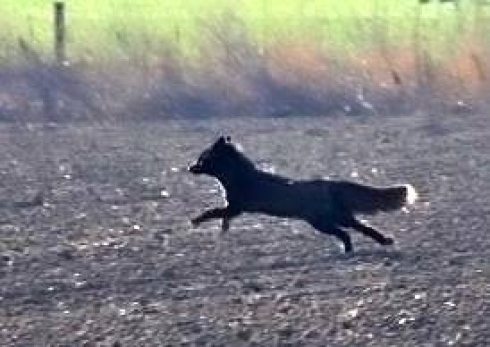 bassingbourn black fox