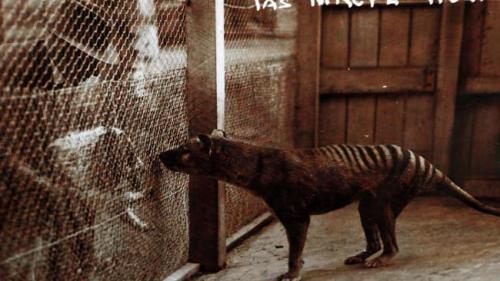 thylacine meets spaniel