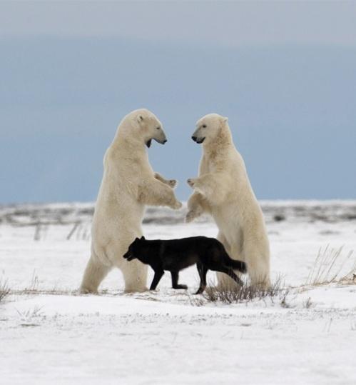 black-wolf-white-bears