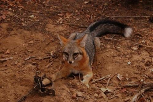 gray-fox-white-tail-tip