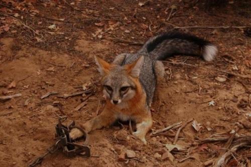 gray-fox-white-tail-tip