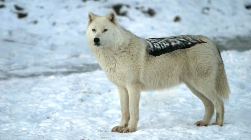dire wolf mesomelas