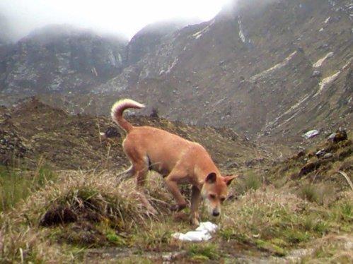 new guinea dingo