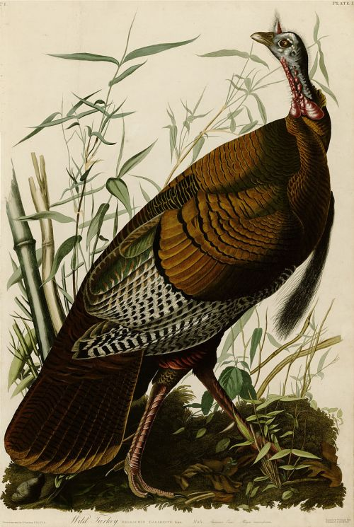 aududbon wild turkey