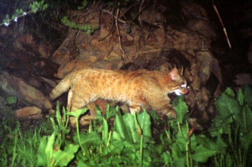 chinese mountain cat night
