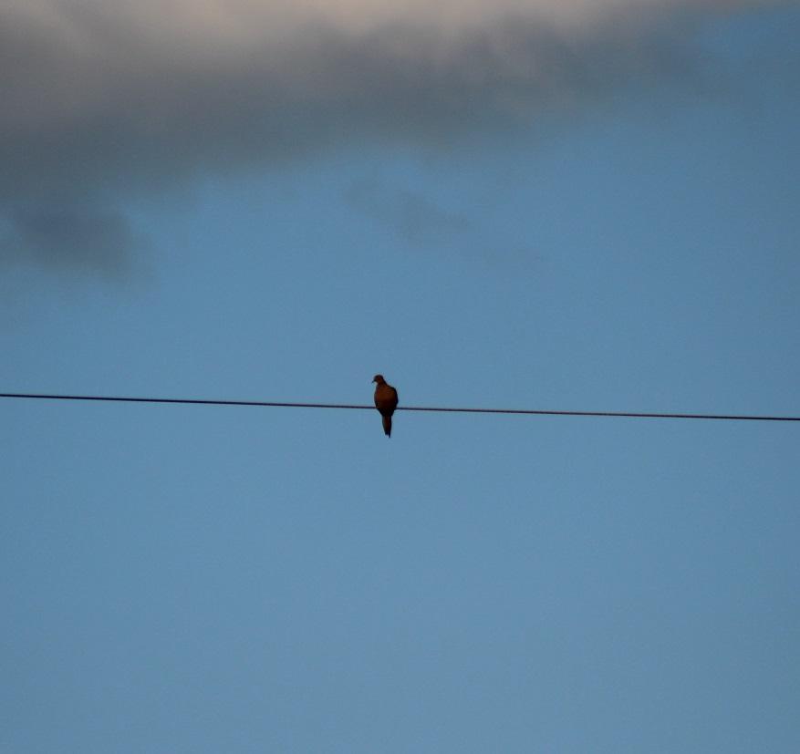 Pájaros de Westwood: paloma de luto