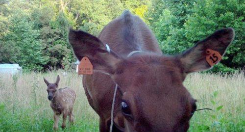 wv elk calf