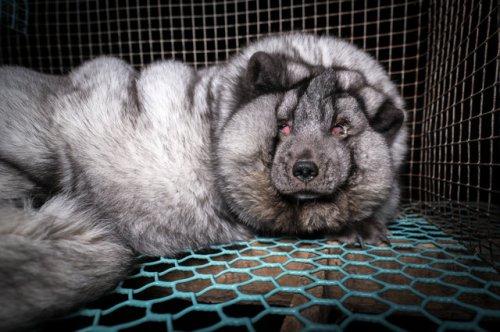 loose skinned arctic fox