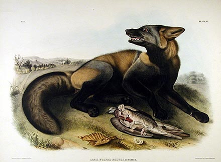 audubon's cross fox