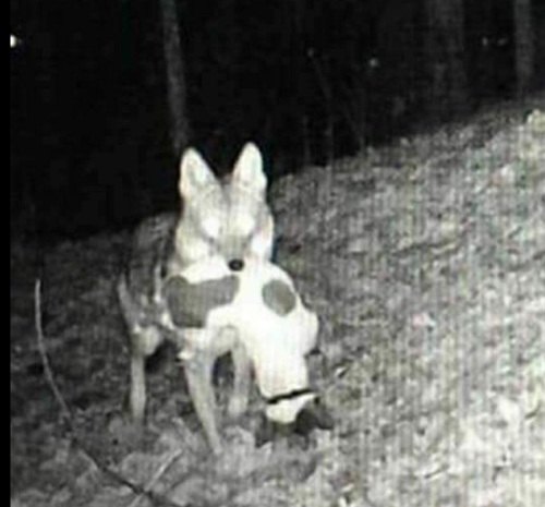 coyote takes out jack russell