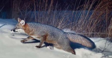 gray fox winter