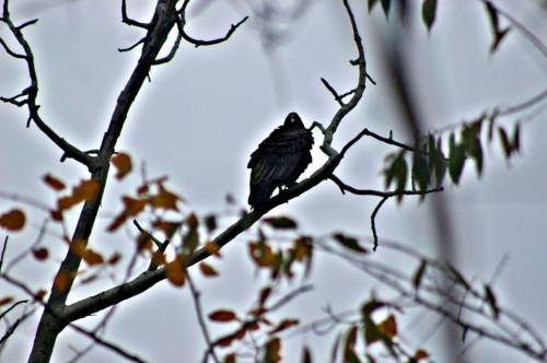 turkey vulture in november