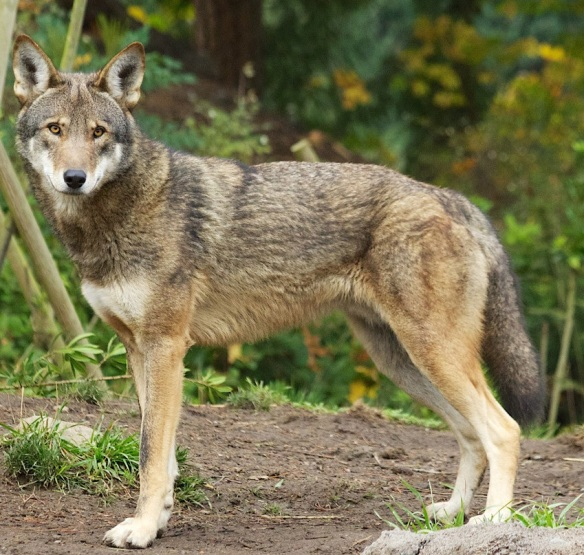 Congress could end red wolf recovery | Natural History