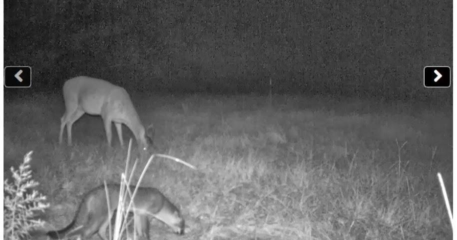 Texas fake jaguarundi gray fox