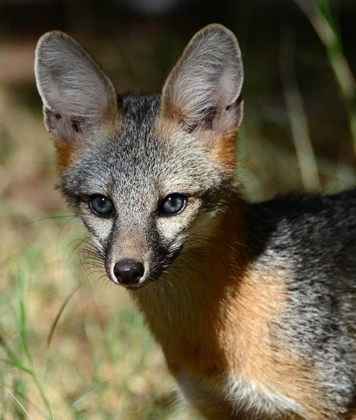 blue-eyed gray fox 2