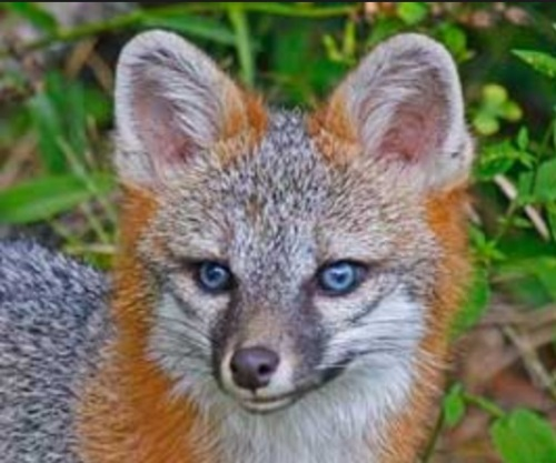 blue-eyed gray fox