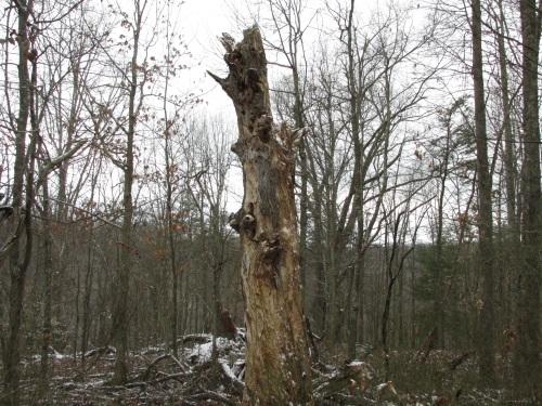 dead white oak