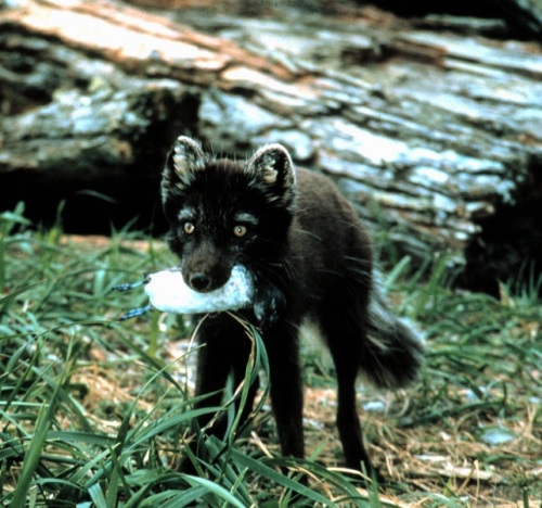 arctic fox eating an auklet