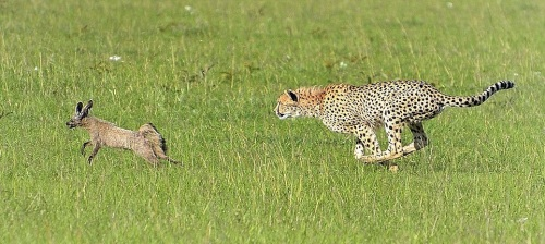 bat-eared fox vs cheetah