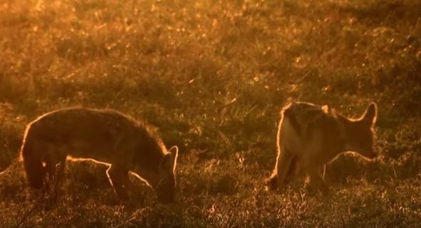 golden wolf vs. black backed jackal