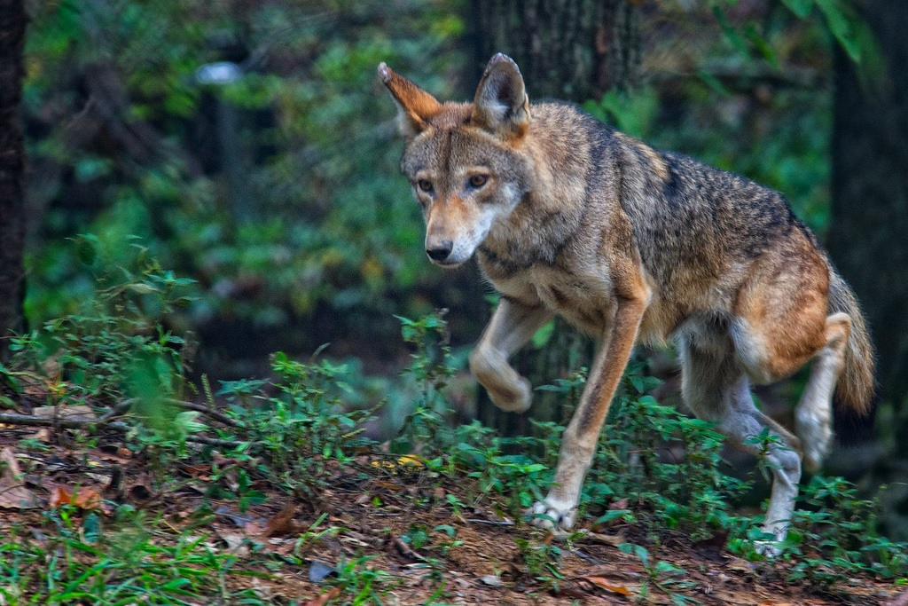 red wolf female