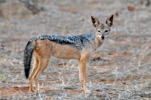 kenya black-backed jackal