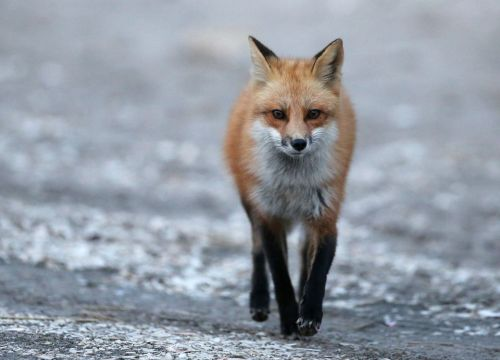 red fox new jersey