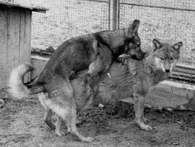 German shepherd mating Carpathian wolf