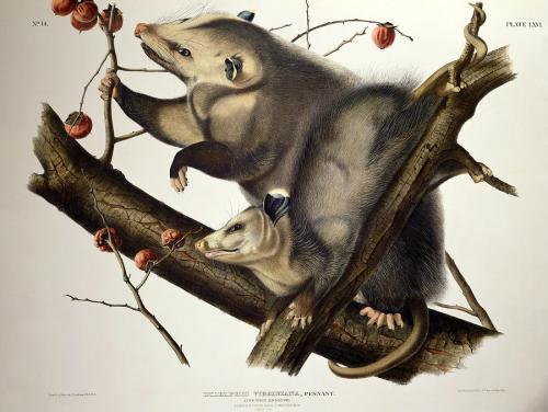 audubon opossum