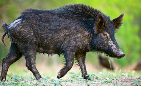 Sow Feral Pig walking