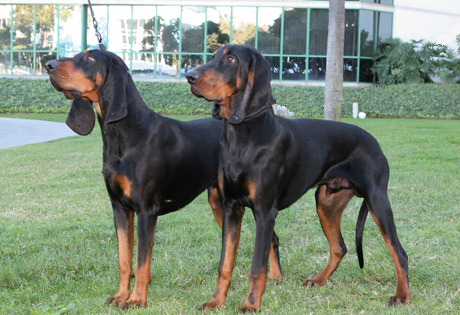 black and tan pair