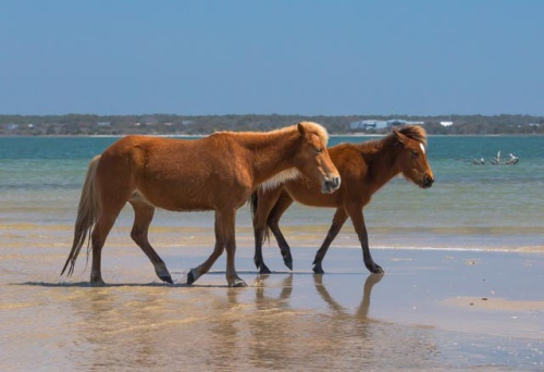 shackleford ponies