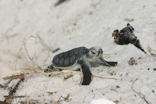 loggerhead sea turtle hatching