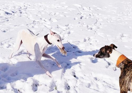 playing whippets