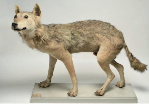 sicilian wolf taxidermy