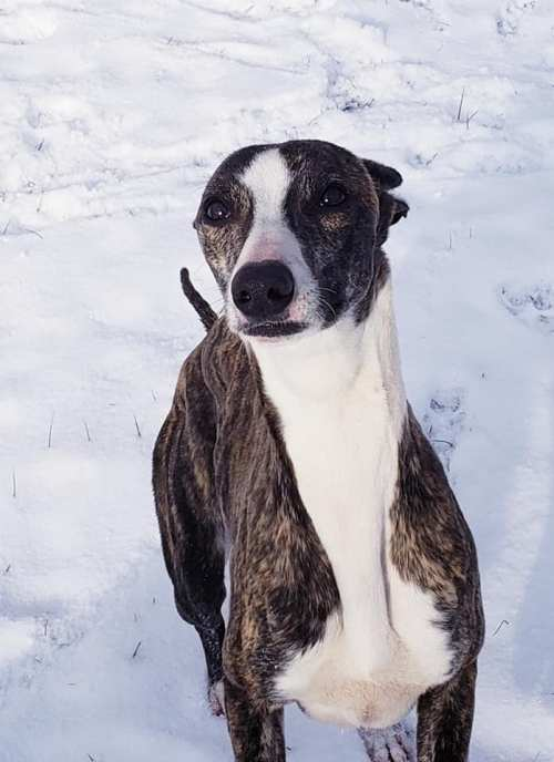 snow whippet 3