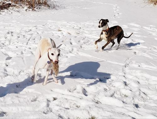 whippets on the run