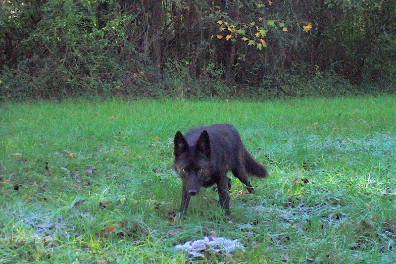 black coyote