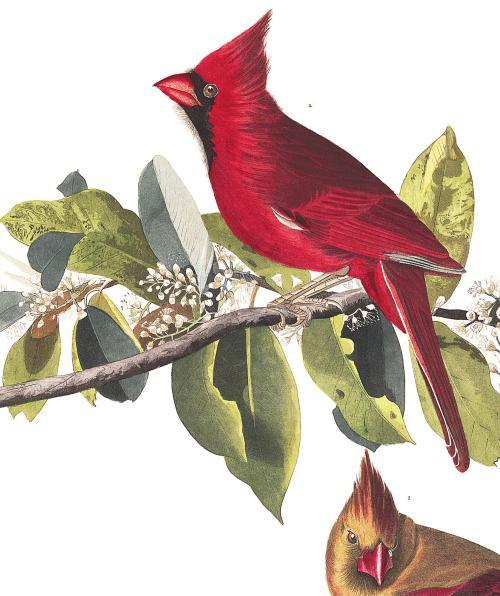 cardinal audubon