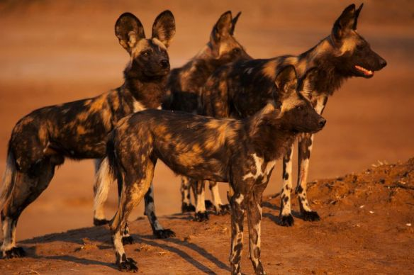 Dynasties Does Painted Wolves A Great Service Natural History