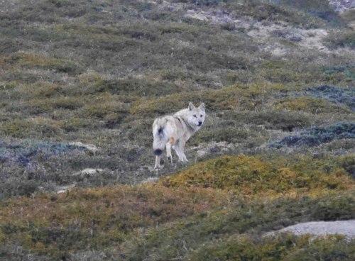 smithsonian wolf