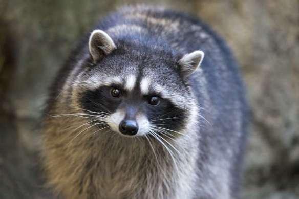 Raccoons in Ireland | Natural History