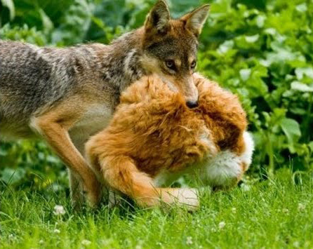 coyote killing cat