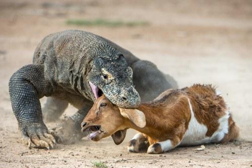 dragon eats goat