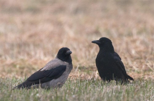 hooded vs carrion crow