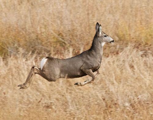 mule deer stott