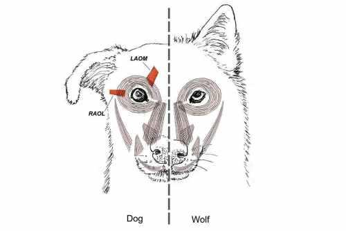 dog eye muscle